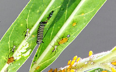 It's a small world (Vern Smith) Tags: swan plant monarch butterfly aphids caterpillar scavenger10 swanplant monarchbutterfly ansh macro