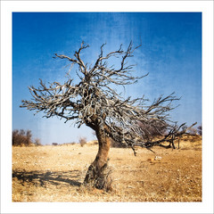 Funky (Daniela 59) Tags: tree dead shepherdstree bosciaalbitrunca sliderssunday hss workingwithtextures squareformat daanviljoengamepark namibia danielaruppel