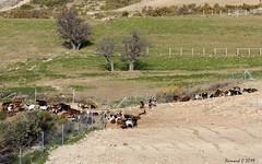 Les Chèvres du Rove (Bernard C **) Tags: canon france provence paca provencealpescôted'azur bouchesdurhône lerove chèvre goat