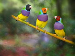 Gouldian Finch (maom_1 (Off, most of the time)) Tags: birds gouldianfinch forest collage digital lanscape texture
