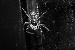 (charly84_jq) Tags: nikon nikond3200 nikonargentina nikonistas nikonista nikon3200 argentina arg byn blancoynegro bnw blackandwhite blackandwhitephoto bnwphoto bnwphotography fotoblancoynegro macro macrofotografia macrofotgrafia macrophoto macrophotography araña spider