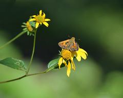 Fiery skipper (justkim1106) Tags: fieryskipper orangeskipperbutterfly skipperbutterfly bokeh naturebokeh texasbutterfly wildflower yellowflower wingedinsect texas insect