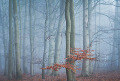 Nebelwald (Petra Runge) Tags: nebel fog misty wald bäume buchen woodland forest trees beeches germany