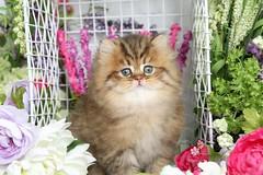Golden Persian Kitten (dollfacepersiankittens.com) Tags: teacup persian kittens for sale doll face cats cat kitten felines animals pets pet animal feline