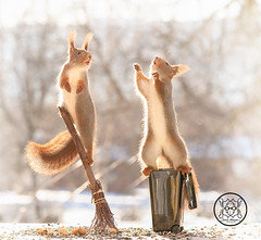 Red squirrel standing on a garbage can another hold a broom (Geert Weggen) Tags: squirrel red animal backgrounds bright cheerful close color concepts conservation culinary cute damage day earth environment environmental equipment love winter snow photo acorn nut food tree homeless roofless houseless garbagecan garbage broom dance openmouth bispgården jämtland sweden geert weggen hardeko ragunda