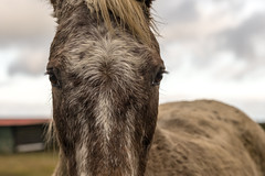 Head on (tonguedevil) Tags: outdoor outside countryside winter nature field sky cloud animal equine horse colour