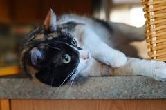 In the catbird seat (timvandenhoek1) Tags: minoltamdrokkorx50mmf14 sonyilce6000 fotasymda7iiadapter timvandenhoek midwest missouri bullianna cat feline pet animal