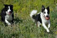 (Enllasez - Enric LLaó) Tags: bordercollie perros perro gos gossos riudoms 2019