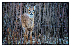 observing (Gaby Swanson, Photographer) Tags: deer nature naturephotography yearling outdoors mageemarshwildlifearea ottawawildliferefuge ohio whitetaildeer wildlife wild wildanimals
