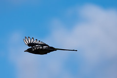 Magpie in flight (Mikon Walters) Tags: magpie bird fly flight flying nikon d5600 sigma 150600mmm super zoom lens photography close up animal animals creature living things outdoors wild life wildlife nature england uk britain black white wings feathers