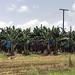 IMG_4711 Banana Plantation
