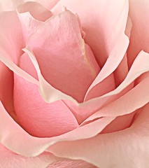 pink beauty (majka44) Tags: rose pink nature light macro macroword flower art 2019 soft gentle elegant focus closeup