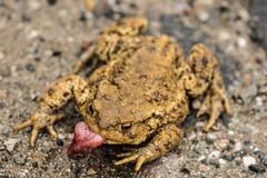 Toad (omuendelein) Tags: kröte toad
