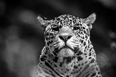 Portrait animal, félins, B&W, 11 (Patrick.Raymond (5M views)) Tags: félins tigres lion panthere nikon bw beauval