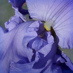 IrisBlue (Corgibird) Tags: flowes flowers naturallight nature iris purple blue yellow out peaches macro juxtaposition artsy crop microfourthirds panasoniclumix 20mm primelens green spring springflowers springtime dandelion sunlight texas
