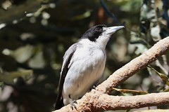grey butcherbird (Cracticus torquatus) (johnedmond) Tags: perth westernaustralia inglewoodtriangle butcherbird bird wildlife nature canon eos7d ef100400mmf4556lisiiusm