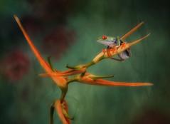 Vigilant..!!! (Alfredo11) Tags: flower frog redeyes color mood flash nikon jungle