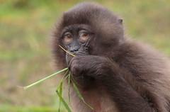 Gelada Blijdorp 094A0473 (j.a.kok) Tags: animal africa afrika aap mammal monkey primate primaat baboon baviaan roodborstbaviaan gelada zoogdier dier blijdorp
