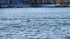 Halichoerus grypus - a grey seal in the waters of Stockholm. I know, I know, it got away, well, almost! (Franz Airiman) Tags: halichoerusgrypus säl seal sälis sälx grayseal greyseal animal djur stockholm sweden scandinavia wild vild vattendjur mammal watermammal däggdjur vattendäggdjur gråsäl saltsjön saltsjöqvarn