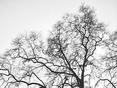 Merletto nero su fondo bianco (giorgiorodano46) Tags: febbraio2019 february 2019 giorgiorodano platano bw blackwhite monocrome biancoenero winter inverno italy