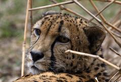 Cheetah ( Acinonyx jubatus) portrait National Zoo (CGDana) Tags: national zoo smithsonian dc district us mammal mega fauna canon 7d mk2
