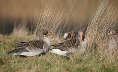 Greylags (yvonnepay615) Tags: panasonic lumix gh4 nature greylaggeese holkham norfolk eastanglia uk coth coth5