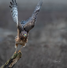 I got you in my sight ! (frankpaliphotography) Tags: background bird birds blue brown circus cyaneus feathers female field flight flying harrier hawk hunting isolated marsh nature northern ornithology outdoors predator prey raptor sky wild wildlife wings