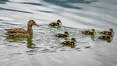 Ducklings (bransch.photography) Tags: mother duck cute nature baby little hatchling lake animal small fluffy feather bird bavaria yellow ducks schliersee newborn group closeup germany outdoor young ducklings summer water wildlife beautiful sweet swim beak schlierseelake adorable animals family duckling landscape mountain