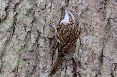 Tree Creeper (Mel Low) Tags: treecreeper bird britishwildlife northcove suffolk suffolkwildlifetrust nikond7000