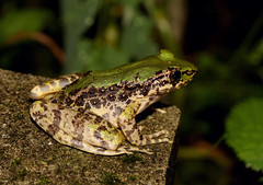 Cascades Frog (Rana livida) (cowyeow) Tags: frog amphibian herps herping herpetology herp chinese china asian asia nature wildlife hunan forest cascadesfrog ranalivida cascades rana livida