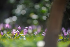 20190321-DS7_1327.jpg (d3_plus) Tags: bokeh aiafzoomnikkor80200mmf28sed d700 thesedays wildflower 日常 walking 城山 ボケ 相模原 望遠 カタクリ 自然 景色 dogtoothviolet sagamihara trekking 神奈川県 sky telephoto 山野草 風景 japan erythroniumjaponicum ニコン トレッキング nature dailyphoto ハイキング nikon nikond700 kanagawa flower nikkor shiroyama 8020028 dogtoothvioletvillage bloom 植物 80200mmf28d 散歩 80200mmf28af plant 花 scenery 80200mmf28 daily 城山かたくりの里 hiking 80200 日本 tele 80200mm かたくりの里 空