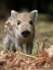 Wild Boar (Nigel Hodson) Tags: canon 100400mmmk11 boar wildboar piglet forestofdean wildlife wildlifephotography nature naturephotography