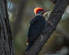 Pileated Woodpecker back-lit (dwb838) Tags: 8x10 mudlake backlit tree pileatedwoodpecker