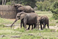 IMG_7245 (Rorals) Tags: elephant wildlife safari southafrica kruger mammal trunk animal elephants nature art animals travel love africa kerala elephantlove cute wildlifephotography elephantlover elefante