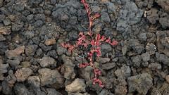 Rotes Kreuz in der Lava (fotoculus) Tags: flora senecio spanien españa canarias canaryislands kanarischeinseln lanzarote