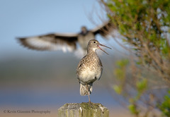 Willet series (Kevin James54) Tags: catoptrophorussemipalmatus nikond850 tamron150600mm willet wilmington animals avian bird fortfisher kevingianniniphotocom