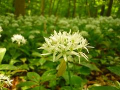 Bärlauch-Blüte (Jörg Paul Kaspari) Tags: bärlauch alliumursinum wald buchenwald bärlauchblüte