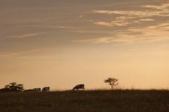 MårtenSvensson_011_IMG_4119 (Bad-Duck) Tags: husdjur höst jordbruk lantbruk mat månsken omständigheter bete betesmark ko kor kväll landskap livsmedel livsmedelsproduktion mjölkko mjölkras natt ottenby årstid