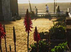 flowers (markjwyatt) Tags: fujifilmxt2 fujinon1855mmzoom manhattanbeach california