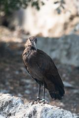 Hamerkop (Cloudtail the Snow Leopard) Tags: hammerkopf tier animal vogel bird schattenkopf scopus umbretta hamerkop zoo halle bergzoo