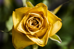 Old Rose (Rudi Pauwels) Tags: 2019onephotoeachday rose flower yellow macro oldrose closeup