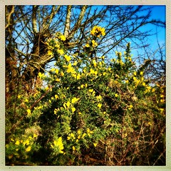 February Gorse (Julie (thanks for 9 million views)) Tags: 100xthe2019edition 100x2019 image35100 hipstamaticapp squareformat gorse yellow flower hedgerow countryside 2019onephotoeachday iphonese ireland wexford irish