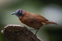 850_7069 (Weng Kong Koh) Tags: birds birdwatcher nature wildlife babbler