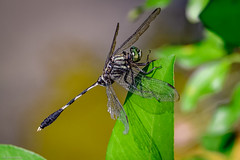 S. Skimmer - 072718 (r.rybicki) Tags: bug china dragonfly dxo orthetrumsabina soberskimmer southchinabotanicalgarden