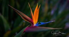 Garden Shots-4192 (Jeffrey Balfus (thx for 4 Million views)) Tags: sonya9mirrorless sonyalpha sonyilce9 fullframe 90mmf28macrogossprimelensmacro sel90m28g flowersplants