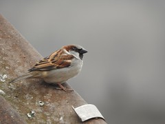 House Sparrow (Simply Sharon !) Tags: housesparrow sparrow bird wildlife britishwildlife nature inthegarden gardenvisitor gardenbird march