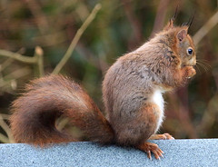 Red Squirrel (Dave Russell (1.3 million views thanks)) Tags: red squirrel rodent animal wild life wildlife nature garden outdoor photo photograph photography isle island arran clyde west western scotland uk canon eos eos7d 7d lagg kilmory
