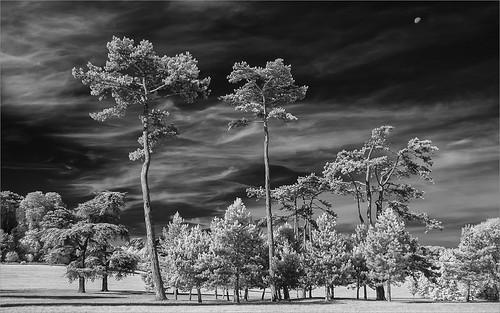 {Fir Trees at Waddesdon}FCC170