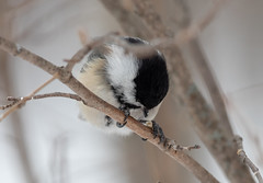 Black-capped Chickadee hollowing out a seed. (Laura Erickson) Tags: paridae saxzimbog stlouiscounty blackcappedchickadee birds passeriformes species places minnesota parusatricapillus poecileatricapillus