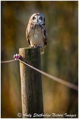 Morning Shortie (www.andystuthridgenatureimages.co.uk) Tags: owl shorteared strigidae migrant winter somerset uk perch morning sun sunlight golden light glow canon